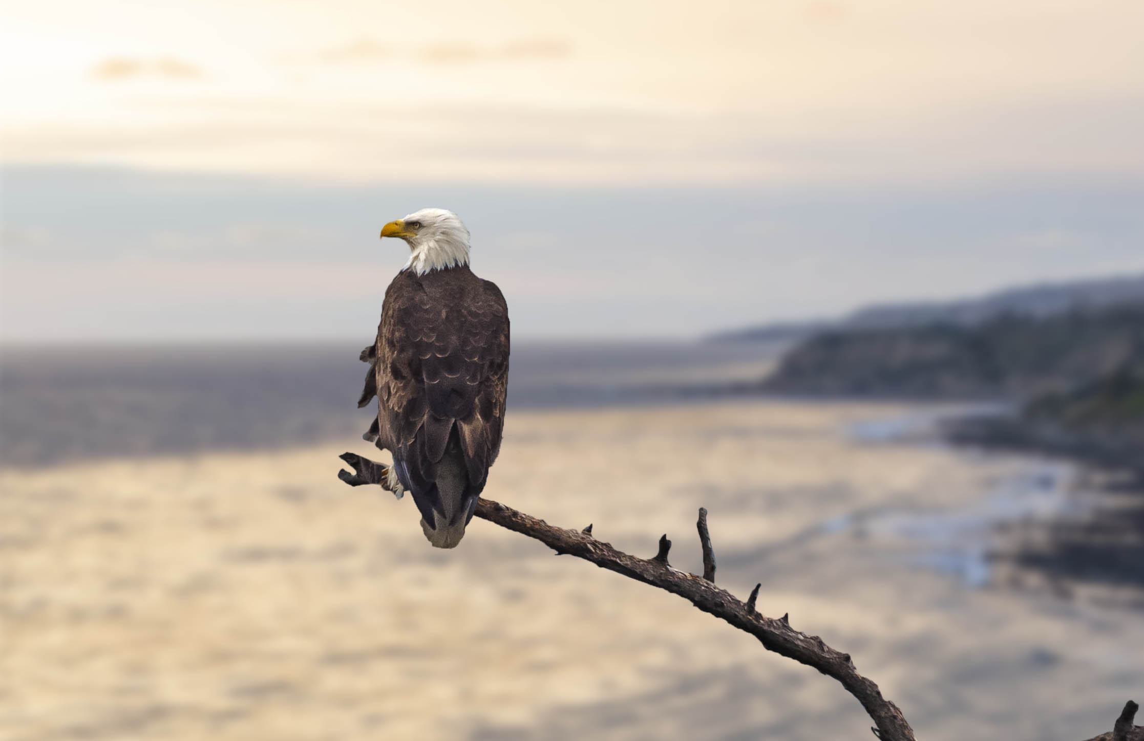 Eagle on Catalina